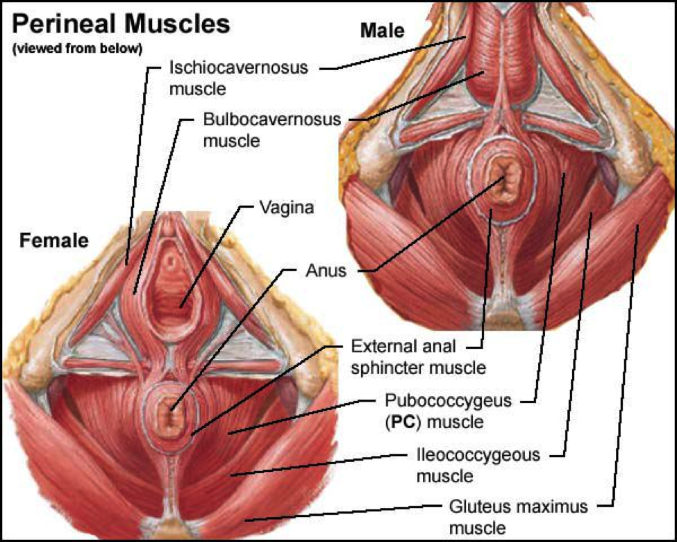 Pc muscle spasm male
